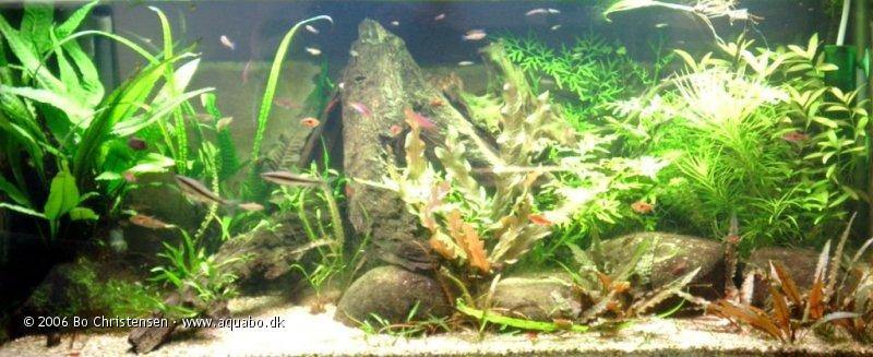 Image: Aquarium 180 (sold)180 liters - New fern. Added a root with a big Javafern to the left.