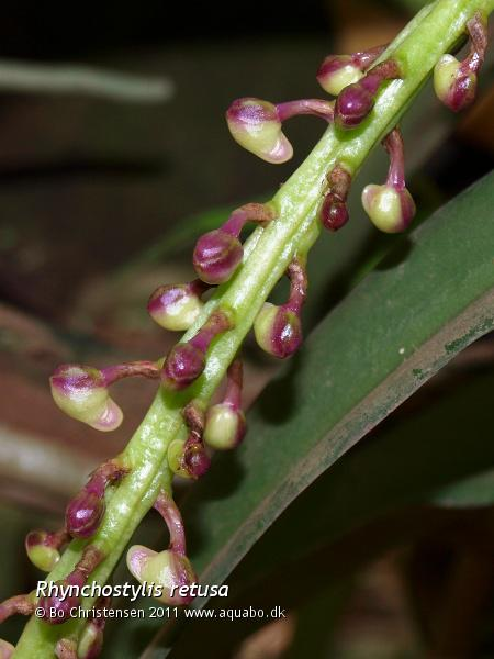 Image: Rhynchostylis retusa - Buds. It is the first time this one is going to flower for me.
