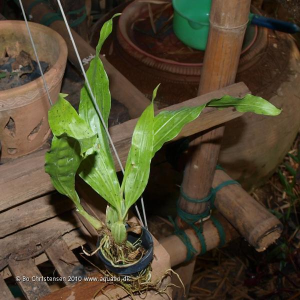 Image: Gongora pleiochroma - New orchid. Bought on Chatuchak Weekend Market, Bangkok december 2010.