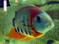 Click to see large image: Redheaded Severum