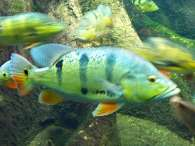Click to see large image: Peacock Cichlid