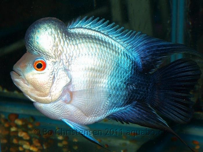 thai flowerhorn fish
