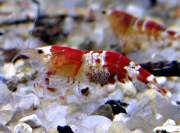 "Caridina sp. ""Crystal Red"", Crystal Red Shrimp, CRS"